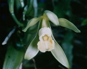 Pictıre of a wild orchid, the basis of the Turkish drink salep.